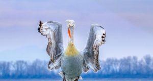 Πρώτο βραβείο για τη φωτογραφία του δαλματικού πελεκάνου της λίμνης Κερκίνης στη φετινή συμμετοχή της Περιφέρειας Κεντρικής Μακεδονίας