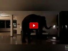 Ελέφαντας περιπλανάτε ελεύθερος μέσα σε ξενοδοχείο Natta Kota
